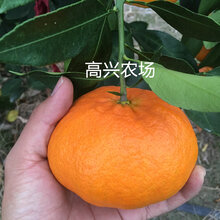 象山甘平爱媛34正宗象山柑橘新品日本品种图片