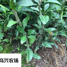 新品紅美人柑橘苗正宗象山柑橘苗優質苗木圖片
