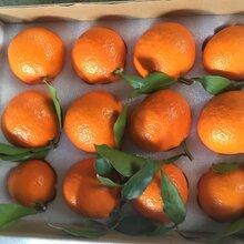 精品紅美人柑橘優質批發柑橘苗木圖片