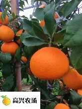 红美人柑橘象山红美人柑桔正宗象山爱媛28糖度15到16度图片