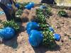 象山红美人爱媛28高价格的柑橘苗品种