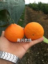 象山紅美人柑橘禮盒裝直發遼寧圖片