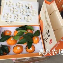 象山愛媛28果凍橙紅美人柑橘直發江蘇南京鎮江無錫蘇州圖片