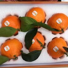 象山紅美人柑橘精品禮盒裝直發深圳圖片