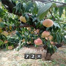 四川两年生的冬雪红蜜桃树苗现在什么价图片