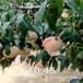 中華晚蟠桃樹苗新品種推薦
