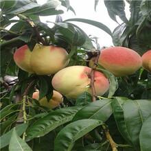 山西新品种桃苗蟠桃桃树苗批发基地在哪里图片