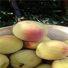 重庆早红桃桃树苗怎么卖的图片