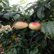 湖北新品种桃苗黄金蜜1号桃树苗每天报价图片