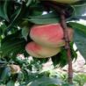 油蟠9桃树苗苗圃场电话