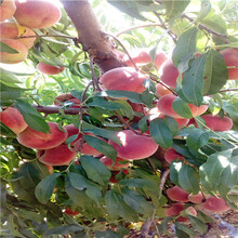 陕西水蜜桃桃树苗哪里便宜图片