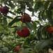 富岛红桃树苗、富岛红桃树苗价格