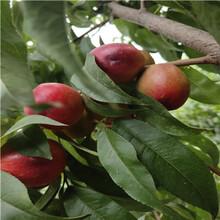 新品种ub8优游注册专业评级网油18桃树苗、新品种ub8优游注册专业评级网油18桃树苗批发多少钱图片