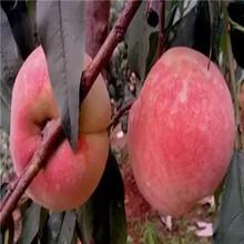 福秀油桃桃树苗仓房早生桃树苗哪里有卖的图片