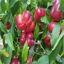 新品种仲秋红蜜桃桃树苗、新品种仲秋红蜜桃桃树苗价格图片