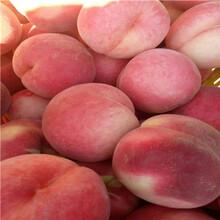 湖北中蟠11桃树苗报价是多少图片