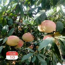 新品种桃苗仲秋黄金脆桃树苗一棵价钱图片