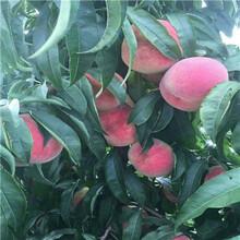 重庆新品种桃苗早熟油桃桃树苗品种特点介绍图片
