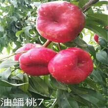 湖南新品种黄桃苗锦绣黄桃苗怎么卖的图片