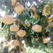 早熟品種桃樹苗出售基地在哪里