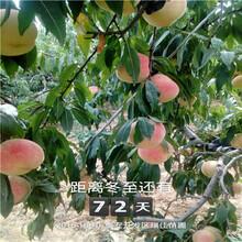 新品种红肉桃桃树苗、新品种红肉桃桃树苗哪里有卖的图片