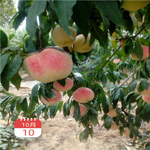 山东两年的中油18桃树苗现在什么价图片