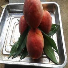 晚熟品种桃树苗春晓桃树苗多少钱一棵图片