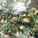 晚熟冬桃品种中华雪桃王桃苗哪里有卖的