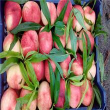 中油18桃树苗春燕桃树苗多少钱一棵图片