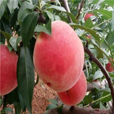 山东桃苗基地油蟠36-5桃树苗每天报价