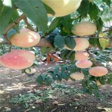 扁桃桃树苗风味天后油蟠桃桃树苗怎么卖的图片