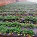 批发供应奶油草莓苗、奶油草莓苗苗圃场电话