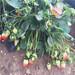 哪里有卖甜查理草莓苗、甜查理草莓苗价格是多少钱