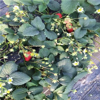 2020年山东天仙醉草莓苗批发基地