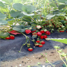 貴州桃香草莓苗哪里有賣的圖片