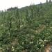 基地直销久香草莓苗、久香草莓苗批发基地在哪里