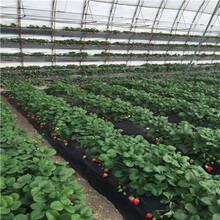 搭棚草莓苗品种幸香草莓苗、幸香草莓苗现在什么价图片