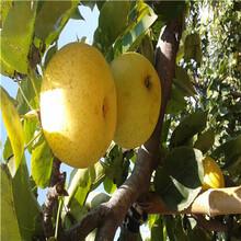 三公分梨树湖南红梨苗价格是多少钱图片