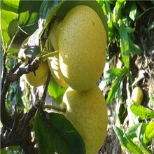 ub8优游注册专业评级网秋月梨树苗价格图片