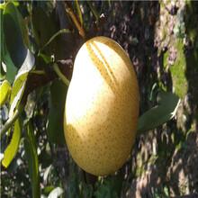 南水梨树苗价格及报价新品种梨树苗南水梨树苗价格及报价图片