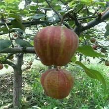 新品种梨树苗价格山东杜梨苗价格是多少钱图片