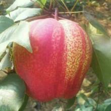 三公分梨树湖北酥梨梨树苗价格图片