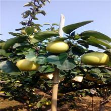 三公分梨树河北新梨7号梨树苗哪里有卖的图片