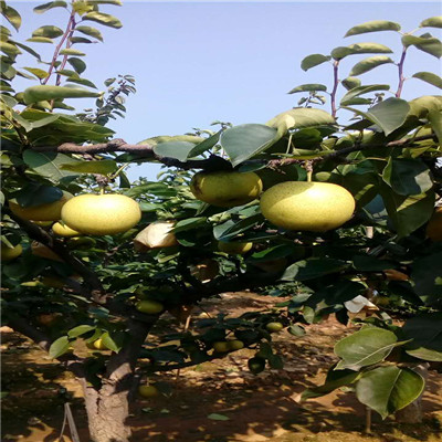 优良品种梨树苗新梨7号梨树苗市场报价