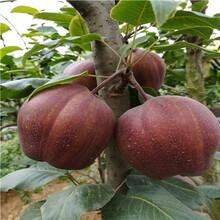 五公分当年结果红梨苗价格图片