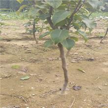 梨树苗基地贵和记娱乐注册新品种梨树苗繁育出售基地图片