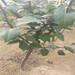 新品种梨树苗价格江苏蜜露梨树苗价格是多少钱