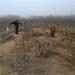 新品种梨树苗价格新疆皇冠梨树苗批发多少钱