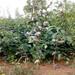 新品种梨树苗价格新疆梨树苗怎么卖的