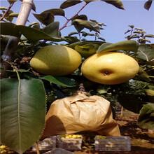 三和记娱乐注册分梨树山东杜梨苗品种推荐图片